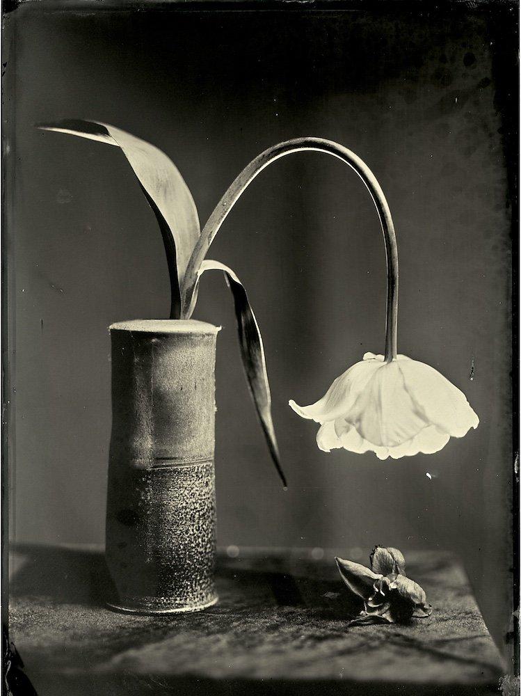 Tulip's Sorrow